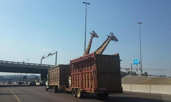 [PHOTO] The #SPCA says one of the #giraffe died due to head trauma. Story: http://t.co/q2WkTSgvli http://t.co/cKuNy4EFtc