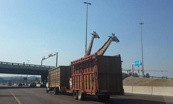 RT @LyPat2: @theJeremyVine can't believe how stupid..... http://t.co/SHNPExt223 #giraffekilled