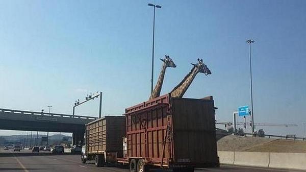 南アフリカで、キリンを移送中のトラックが高架橋を考えず走行。キリンが橋に激突し、死亡…So sad…(T_T) ⇒ Giraffe in truck dies after hitting… http://t.co/S9NdjVNs3p http://t.co/exfFVGqb2f