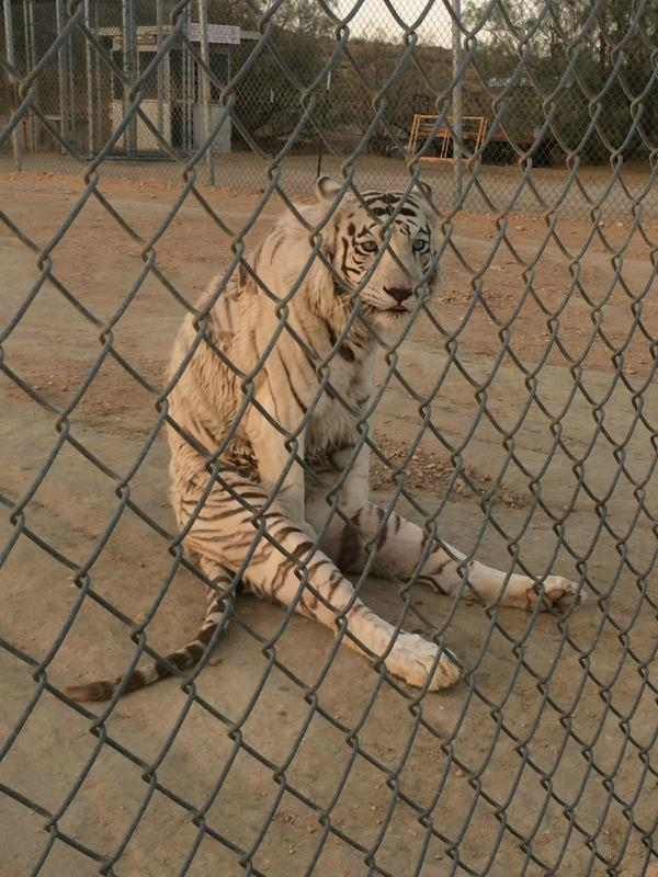 Bet you've never seen a #tiger do that. http://t.co/fhAkm1YxZW