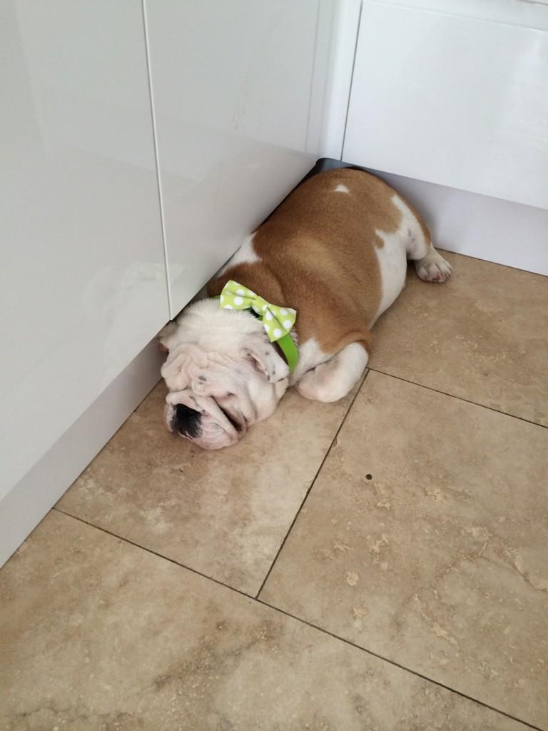 Thank you so much to @DitsyPet for LEOS collar ..... He loves it 🐶🐶🐶 http://t.co/WsZNPLjJcG