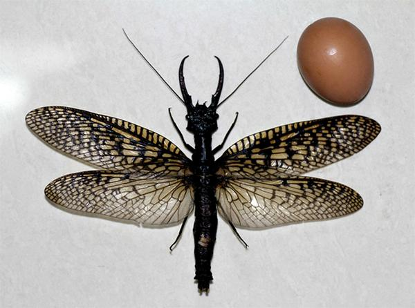 World's Largest Aquatic Insect May Have Been Found, And It Will Haunt Your Dreams