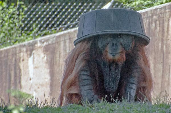 Good morning, here's an orangutan with a bucket on its head. http://t.co/PbSAlxNNU7