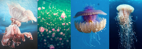 There are over 1500 known types of jellyfish in oceans worldwide! Which type is your favorite? http://t.co/87mBB5BANO