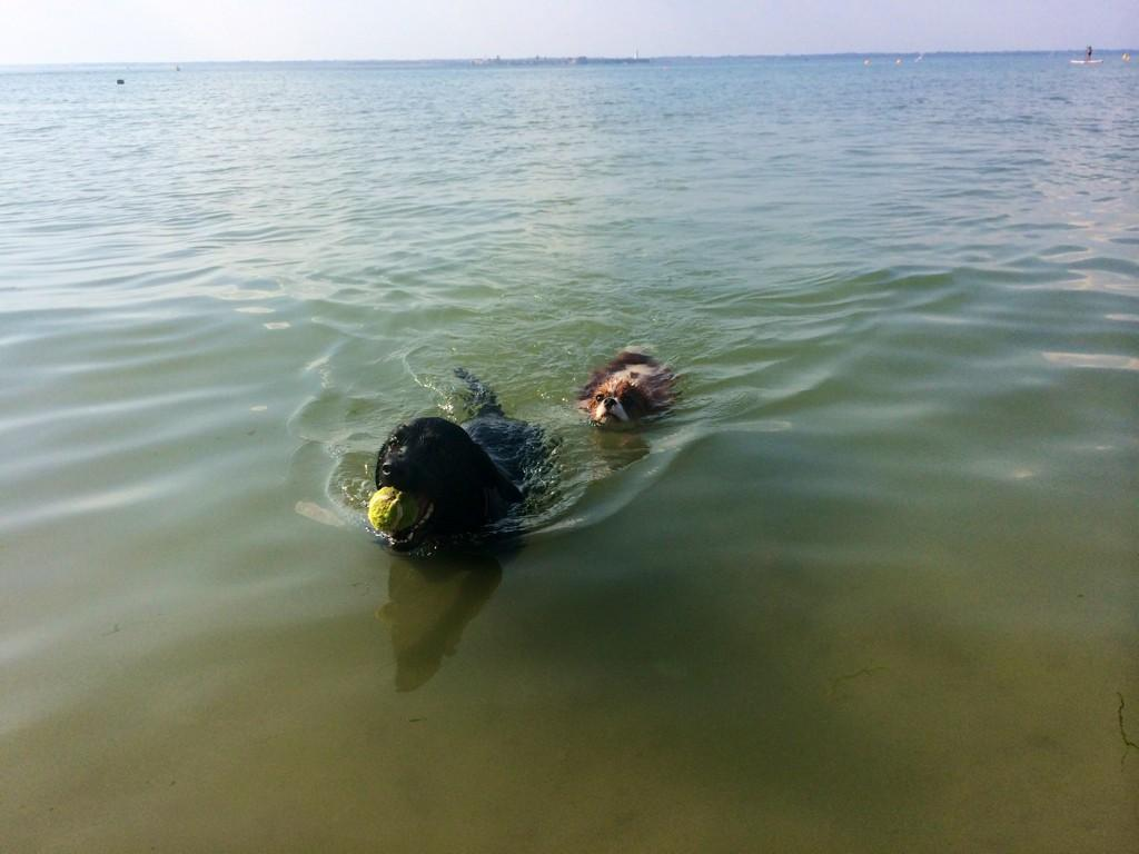 RT @iamlulabel: Evening swim for Molly and Scrumble.... @BinkyFelstead http://t.co/8CZHD7Y6q7