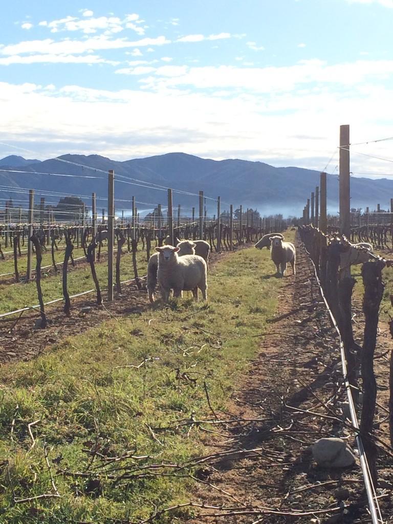 Twitter / spyvalleywine: Classic #newzealand sheep ...