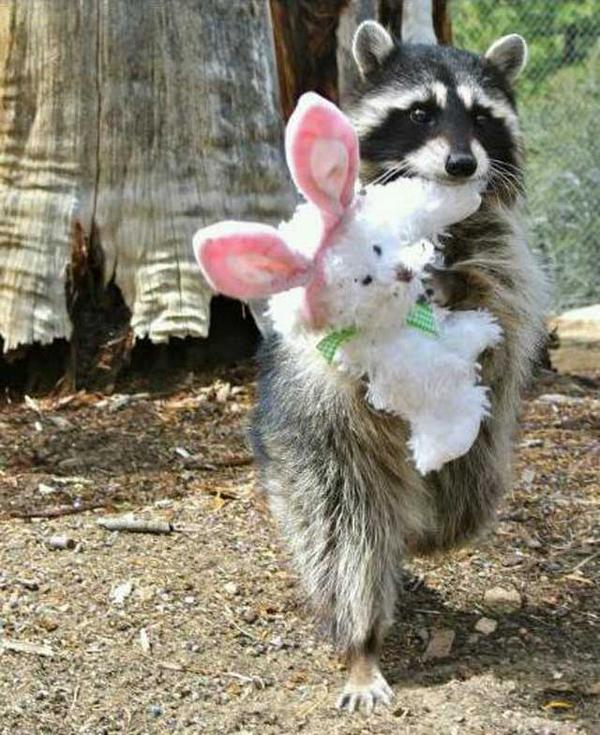 "Funny ""@studiocastillo: #SharpSchu Feel like I need 2 share ths pic found online... Raccoons really do ♥ toy bunnies! http://t.co/z3AKaxktuf"