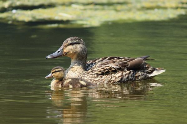 """""""@veganbonnie: Cutest mama and baby in the park yesterday. Duck moms are such proud single parents. http://t.co/nSdOwpTpUW"""""""