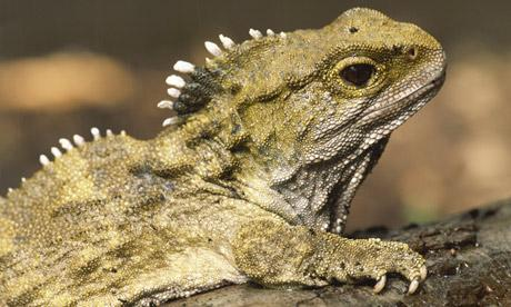 Weird Science On Twitter The Tuatara A New Zealand Reptile Which Predates Dinosaurs Has 3 Eyes Tco LDV4vuWRnQ
