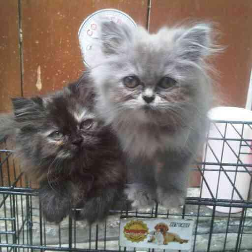 Download 93+  Gambar Kucing Persia 3 Bulan Paling Imut