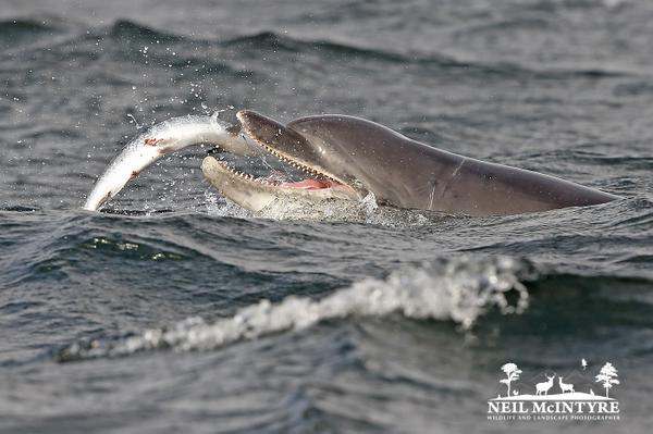 MT @NeilMcIntyre3: Bottlenose Dolphin with salmon @ Chanonry point last night. Amazing when action gets going: http://t.co/95hIn9Eiz3 < Ace!