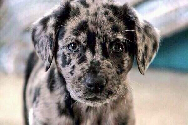 Oreo Pup '