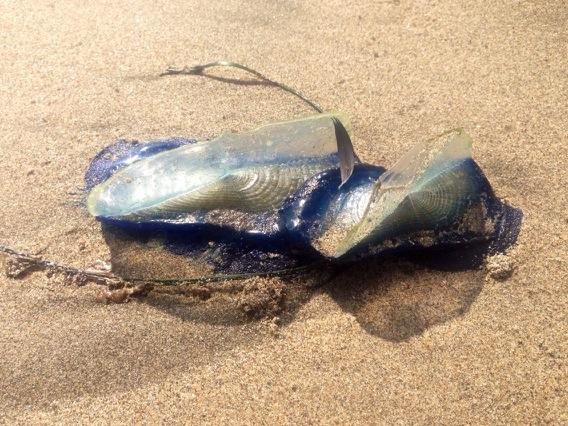 Velella velella. The local beach was covered with these strange cnidarians. http://t.co/6Iz1gw4Dp8
