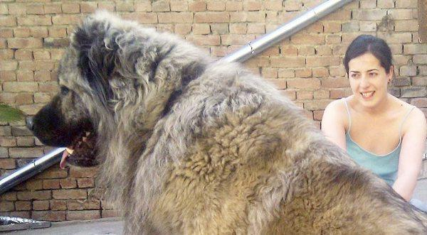 belfast telegraph on twitter giant bear hunting dogs go on sale in northern ireland http t. Black Bedroom Furniture Sets. Home Design Ideas