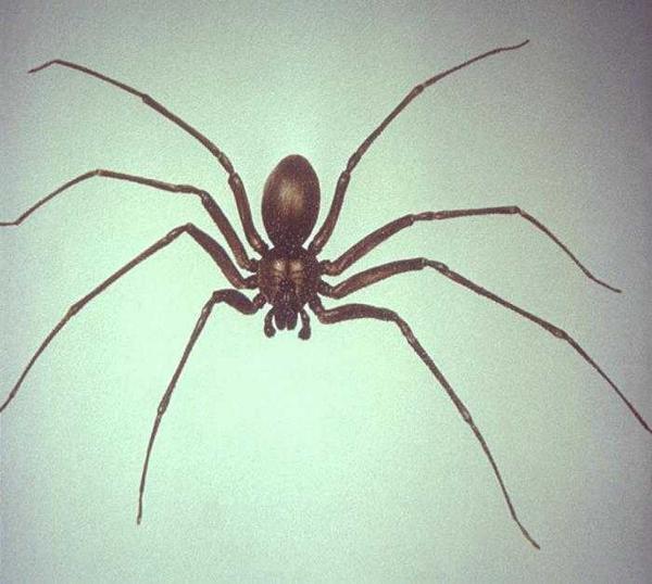 brown recluse spider bites - 958×861