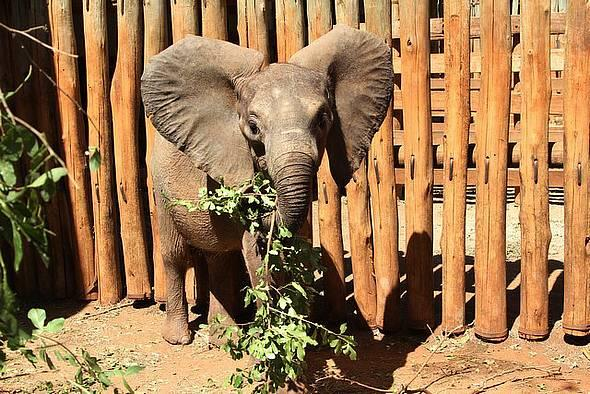 Meet Rorogoi, an elephant I fostered from the @DSWT for #WorldElephantDay who was likely orphaned b/c of #poaching http://t.co/qWaLDaKRBI