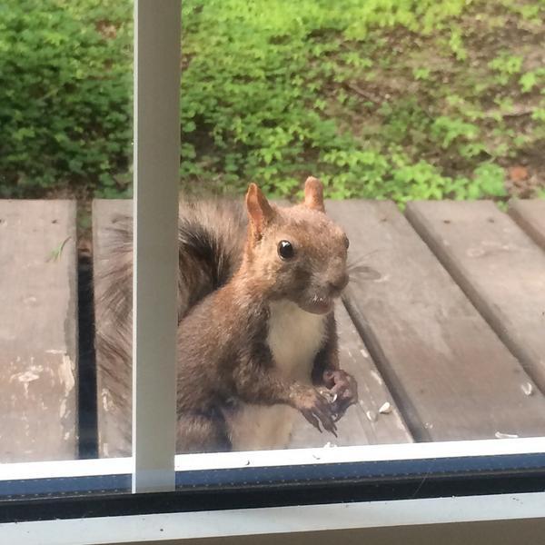 秋の風が吹き始めてからリスさんも一気に活動的になって、今朝は4匹も5匹も庭を駆け回っていて、(꒪꒫꒪)。oO(いつものリスさんがどれだかさっぱりわからない…) ってなりました。(๑º ロ º)あたしー!あたしがいつものかわいいこー! pic.twitter.com/1zs1CdYsk7