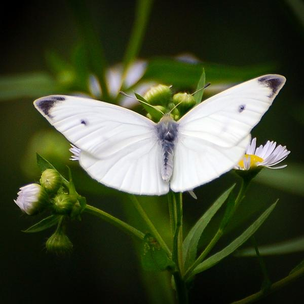 Cabbage White #Butterfly -  http://t.co/wiqbeuUTMV - #explore #nature - http://t.co/GWLrRcscxH
