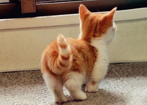 Lebih Cerdas En Twitter Kaya Gini Nih Bentuk Kucing Berkaki Pendek Atau Biasa Disebut Munchkin Cat Http T Co Ticds4lhxq