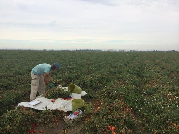 Busy Monday of fieldwork for the #wildAg team harvesting tomatoes http://t.co/IfN6BqGlP3