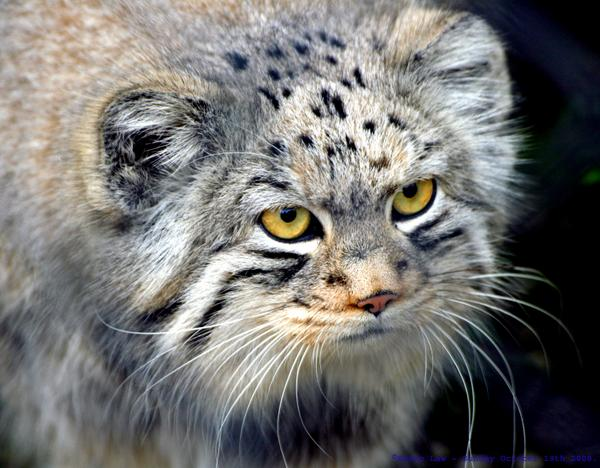 The Pallas Cat has round pupils, and 9 other awesome facts about this Asian feline. http://t.co/H95p5T8ZhR http://t.co/vYS15FDi5o