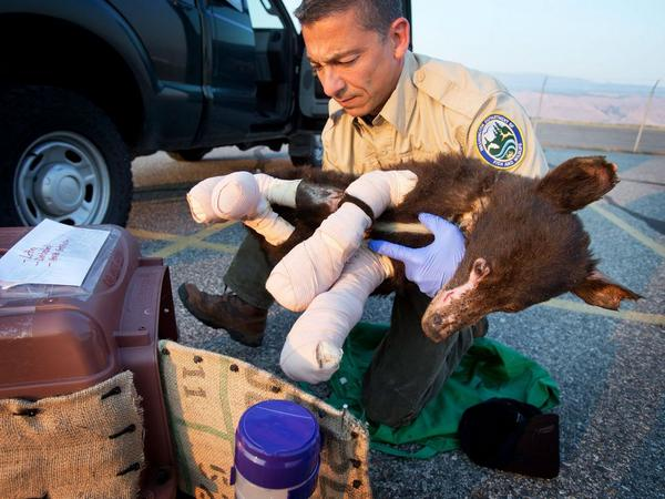 Badly burned, Cinder the bear finds home at rehab center. Story: http://t.co/UnxTMIJ8NV #WaWILDFIRE #CarltonComplex http://t.co/ZGOL4DJ93G