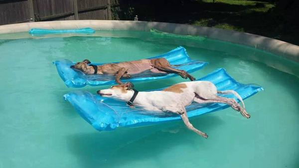 Love this image posted by  'Greyhound Rescue of Atlanta', titled 'Athletes in retirement'. http://t.co/ZSVUdioikx