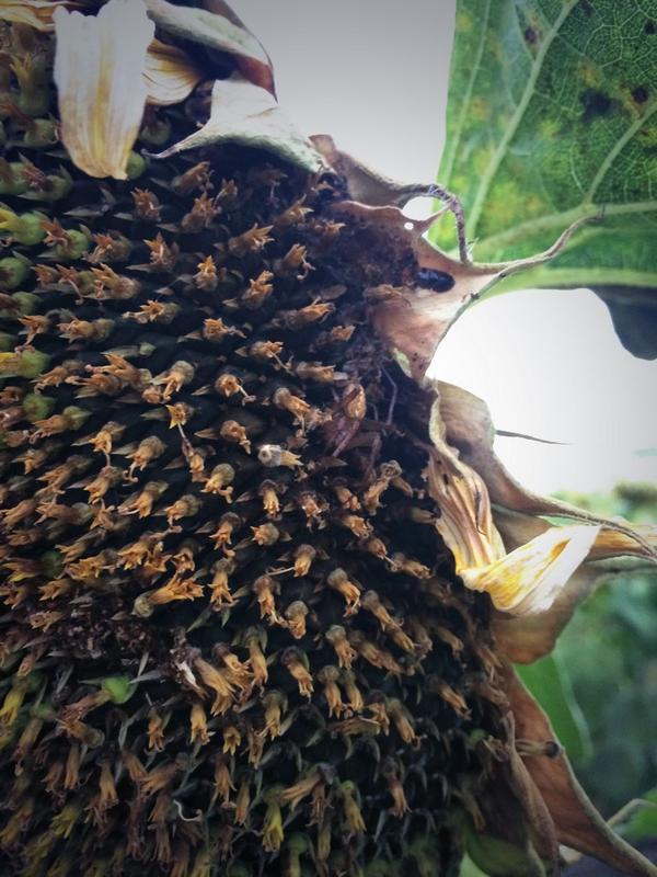 Surprise friend on this sunflower #WildAg http://t.co/iUh5oFJiQL