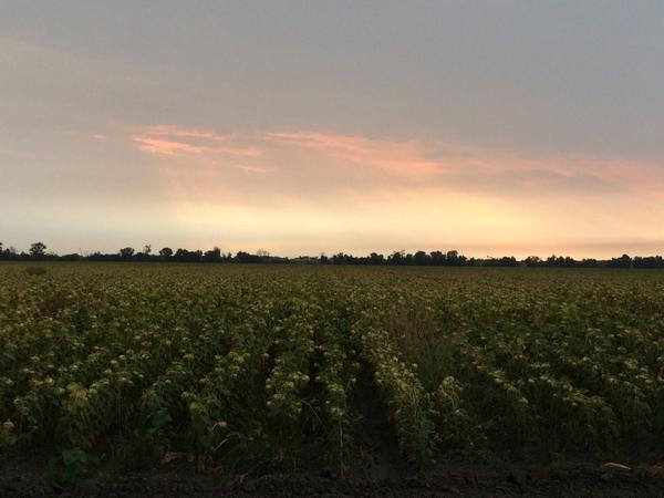 Ominous morning clouds over sunflowers #WildAg http://t.co/OSNbu4YwFx