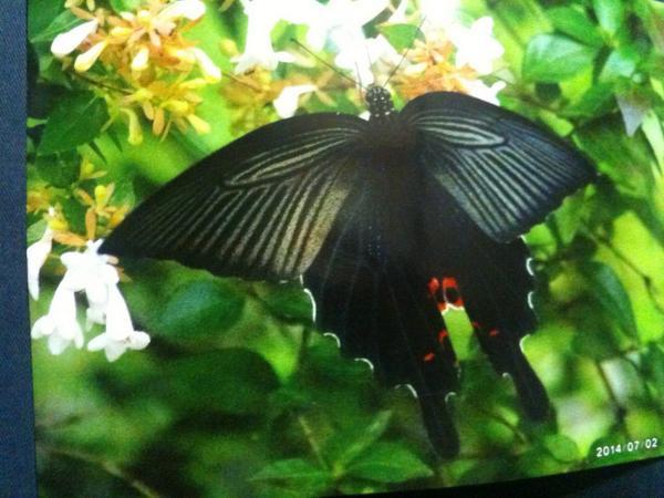 テレビで昆虫採集の話をしてた…この蝶の名前を知りたく、本を買ったは良いが、何だろ… http://t.co/3iy2S89OQz