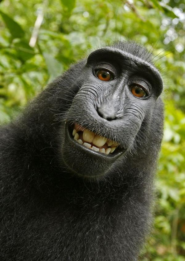 Monkey selfie: Photog who left camera claimed copyright; Wikimedia said no. https://t.co/AkqZYRiNVH http://t.co/c57rATiCWX