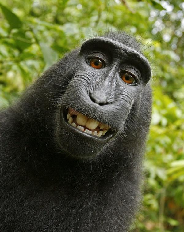 Who owns the #copyright of this monkey picture? #Wikipedia says: the monkey. http://t.co/SXK1fzekFr http://t.co/NwD6q4kqbn