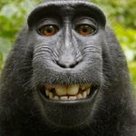 Image for the Tweet beginning: Monkey's selfie at center of