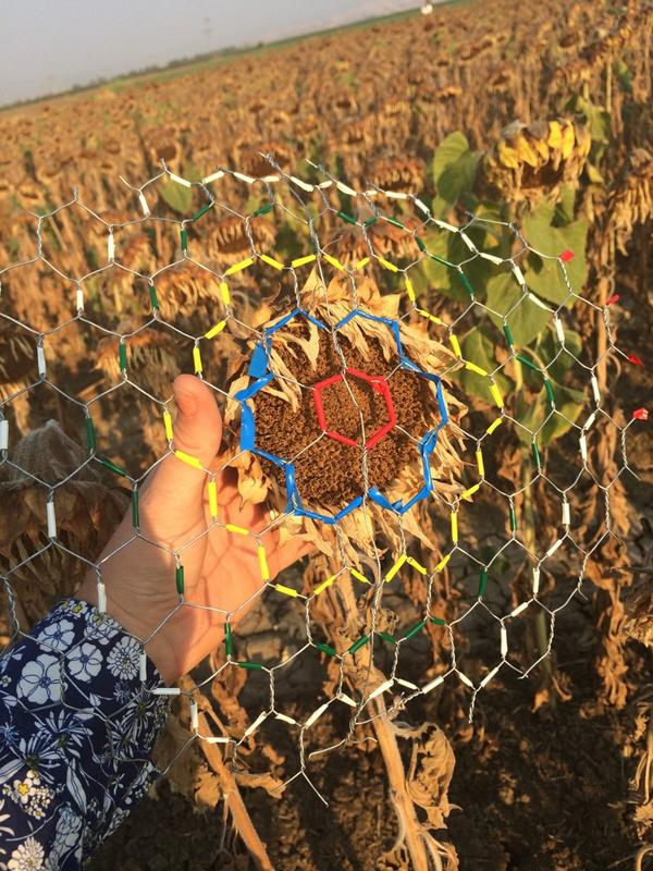 2nd grade art project? Or awesome way to estimate bird damage to sunflowers? #WildAg http://t.co/mypiza5N3N