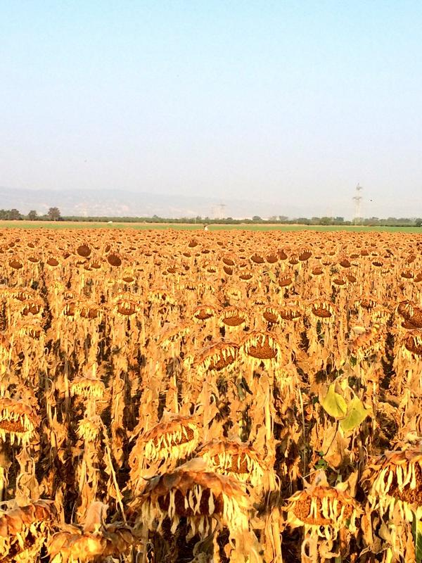 Out counting birds and bird damage to sunflowers with @Burnabea #wildAg http://t.co/BfEcjznqdk