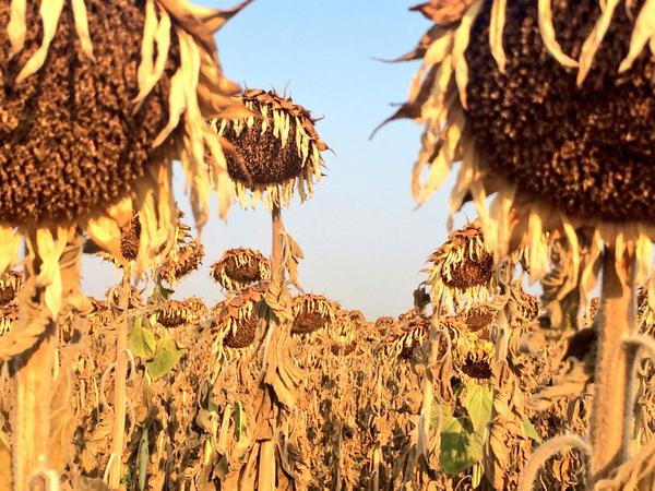 Sad sunflowers. Actually, happy sunflowers bc we're not finding much damage today. #wildAg http://t.co/9IYtJ1O7kt