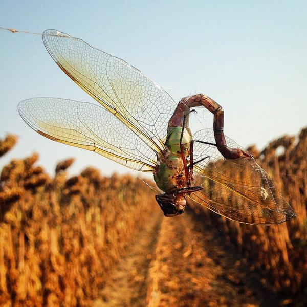 Sunflower fields are home to giant spiders where dragonfly is on the menu! #wildag @sara_kross http://t.co/SWedcmaT2w