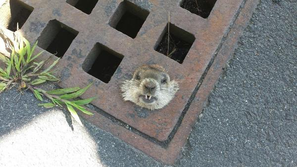 Woodchuck Rescued By Massachusetts Police After Getting Stuck In Sewer Grate (PHOTO)