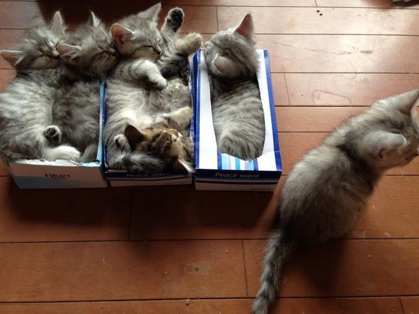 今朝は皆でティッシュ箱に(^_^;)まだ数分無いので、ひとつの箱に2匹で入ってたり…「アタチの箱はー?いいもん、乗っちゃうもん」チーちゃん、今度用意するね(笑) pic.twitter.com/tZxNO1ojm5