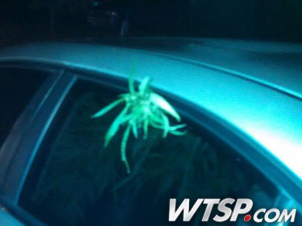 Florida Man Seen Driving With Marijuana Plant Hanging Out Car Window | http://t.co/Ail2CVWTzu http://t.co/Qr6xrqy219