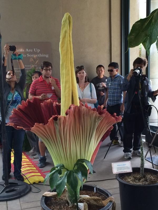 The #CorpseFlower holding court this morning. Beautiful! http://t.co/FxqJEaoK48