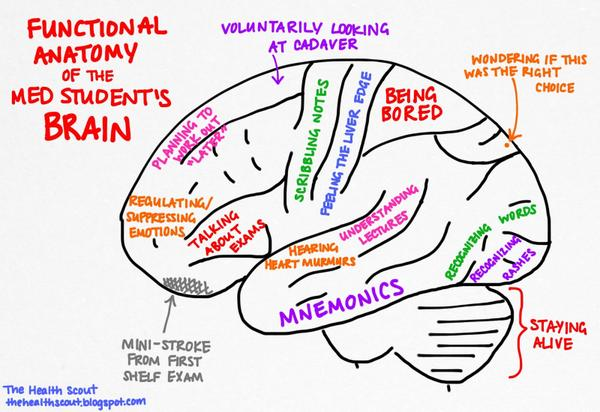 John F Cryan On Twitter Functional Anatomy Of Med Students Brain