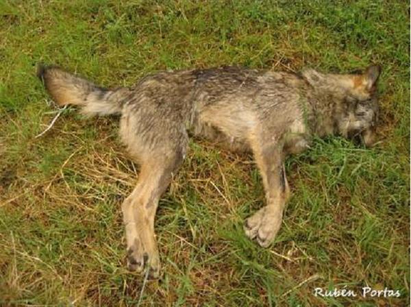 El lobo está ESTRICTAMENTE PROTEGIDO al Sur del río Duero por La Directiva 92/43/CEE Hábitats  http://t.co/LuuHI2H8tf http://t.co/jiBY6r7r8U