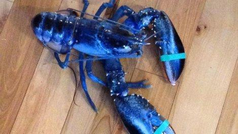 A blue lobster was caught off the coast of Maine over the weekend – a 1-in-2 million find. http://t.co/fmnEIjqD9s http://t.co/D2h1ntXQAK
