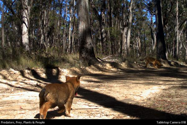 #dingo pup with his mother. He's got about a 10% chance of reaching his 1st birthday. #mammalwatching http://t.co/r9n7KZlyq0