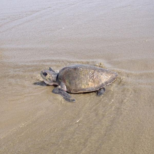 See a green sea turtle on the beach on Oregon's Central Coast? Call 1-800-452-7888 and report it. It may need help. http://t.co/NWLuCPmYtH