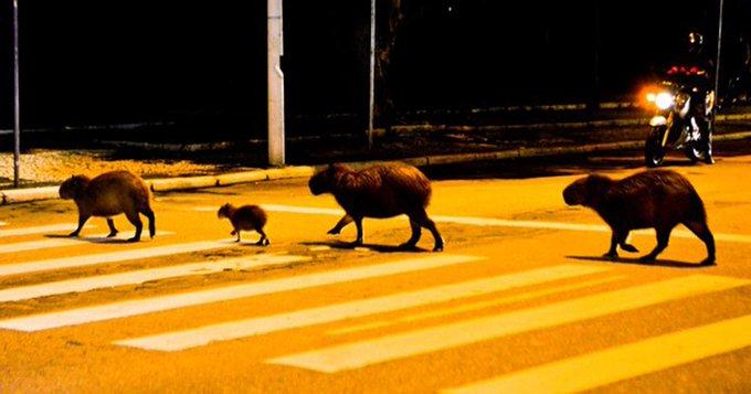 Quatro capivaras atravessam rua em faixa de segurança no estilo 'Beatles' http://t.co/576914eCzq #G1 http://t.co/EpIHaO9bS0