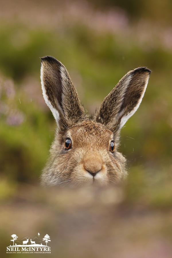 Main focus this week been Mountain Hare & red grouse in purple heather, here a rather cheeky looking young hare :-)