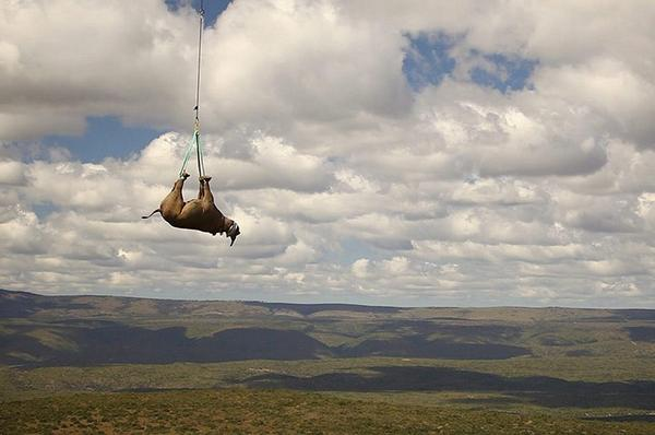 What a photo! RT @dodo: South Africa is evacuating 500 rhinos out of Kruger National Park http://t.co/e8HiEDjK0f http://t.co/h6syfbdg87