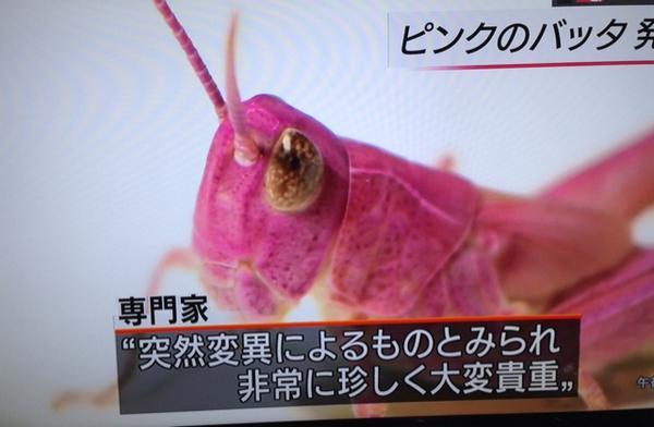 PINK GRASSHOPPER‼︎ RT @DaikeYamamoto: なにこれ超綺麗!!  RT 本日一番のびっくりニュース。小学生男子がピンクのバッタ発見。NHKニュースで繰り返しやってる。大変貴重だそうです。見たい。 http://t.co/U2NUzKjtSg